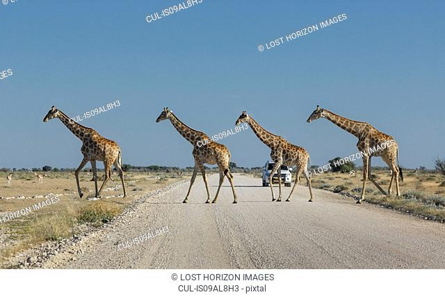 Four giraffes crossing road, Etosha National Park, Namibia