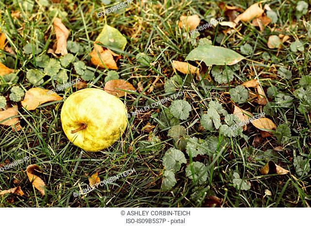 Fallen apple on grass, close-up