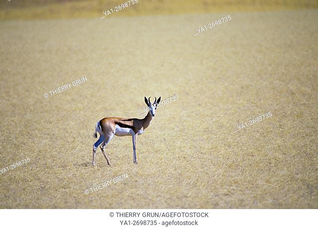 Namibia, Namib-Naukluft National park, Sesriem, springbok