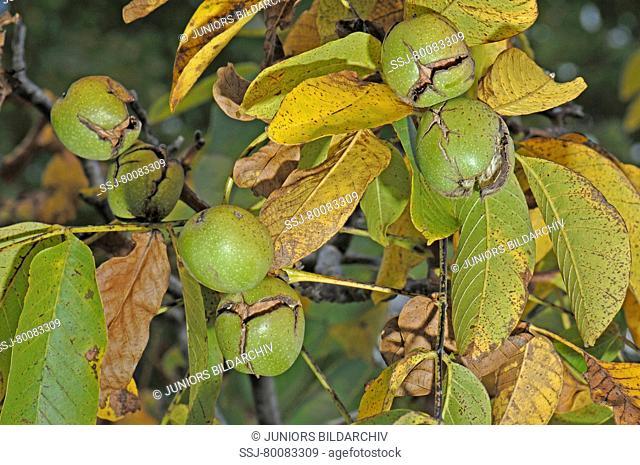 DEU, 2007: English Walnut, Persian Walnut (Juglans regia), nuts on tree