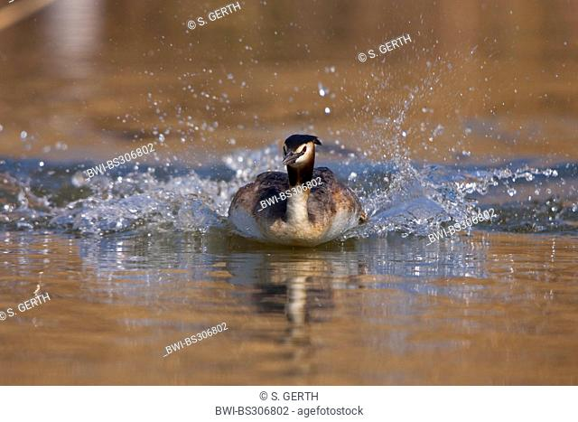 great crested grebe (Podiceps cristatus), fleeing from a rival, Switzerland, Sankt Gallen
