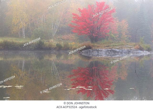 Red maple on shore of Bass Lake in light fog. Greater Sudbury, Ontario, Canada