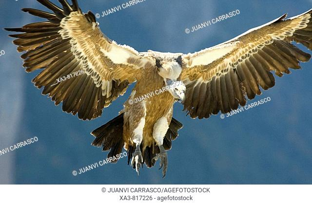 Bearded vulture Gyps fulvus with opened wings