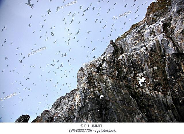 black-legged kittiwake (Rissa tridactyla, Larus tridactyla), colony at a bird rock; many gulls in flight, Canada, Nunavut, Bylot-Island
