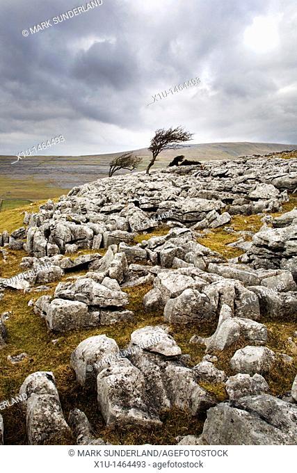 Windswept Trees on Twistleton Scar near Ingleton Yorkshire England