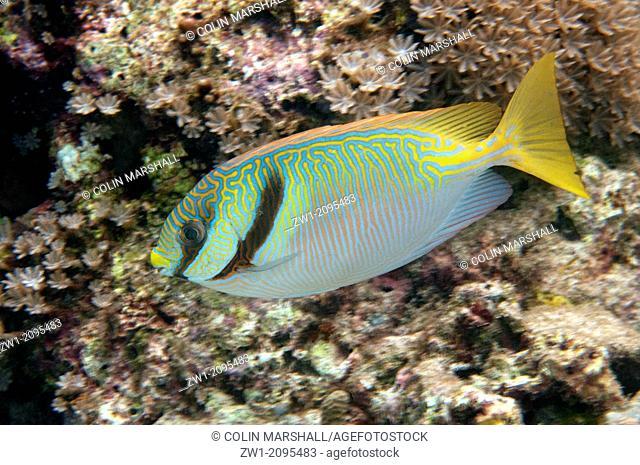 Barred Rabbitfish (Siganus doliatus), Mangrove Ridge, West Waigeo, Raja Ampat, West Papua, Indonesia