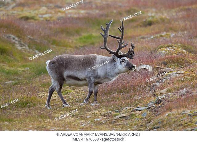Svalbard Reindeer male in tundra