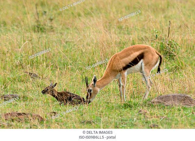 Thomson Gazelle with newborn (Gazella thomsoni), Masai Mara National Reserve, Kenya