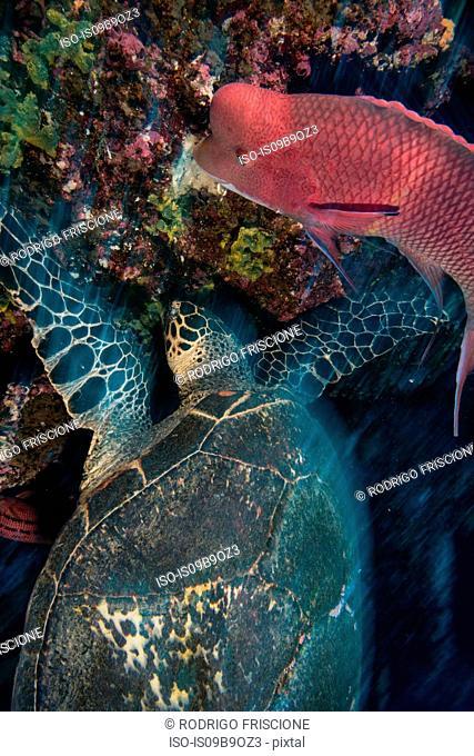 Turtle and sheepshead fish feeding by coral, Seymour, Galapagos, Ecuador, South America