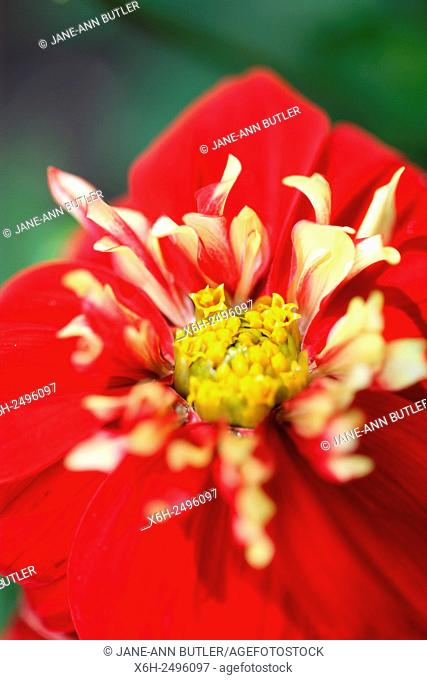 charming red and white dahlia ''impression festivo'' beautiful long flowering throughout Summer