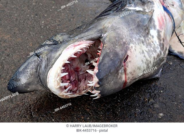Great white shark (Carcharodon carcharias) on ground, open mouth with sharp teeth, fish market, Beruwela, Western Province, Sri Lanka