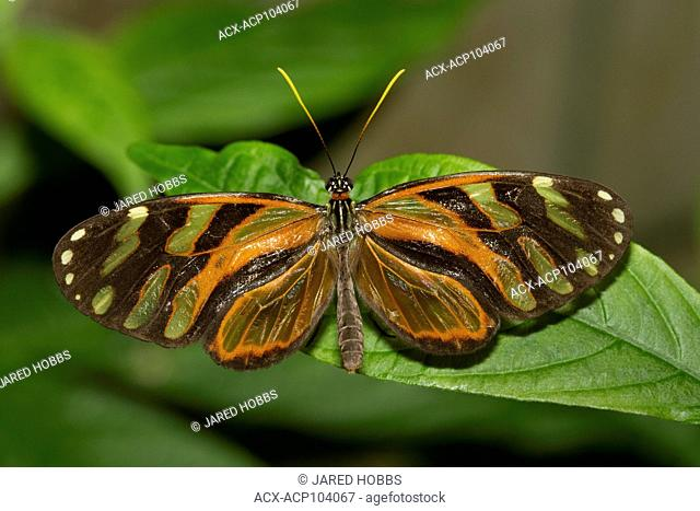 lepidoptera, Butterfly, Costa Rica, Central America