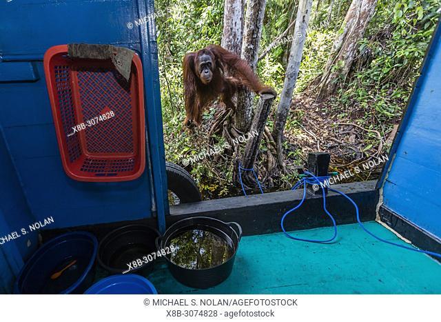 Male Bornean orangutan, Pongo pygmaeus, Tanjung Puting National Park, Borneo, Indonesia