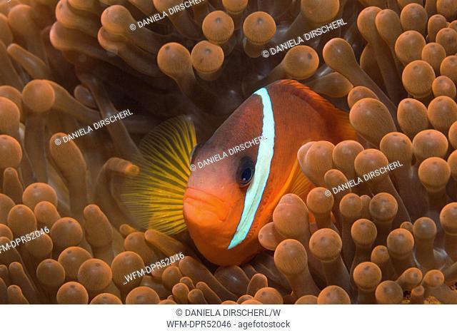 Tomato Anemonefish, Amphiprion frenatus, Makogai, Lomaviti, Fiji