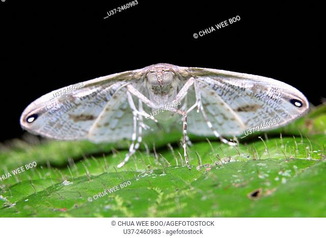 Moth. Image taken at Kampung Skudup, Sarawak, Malaysia