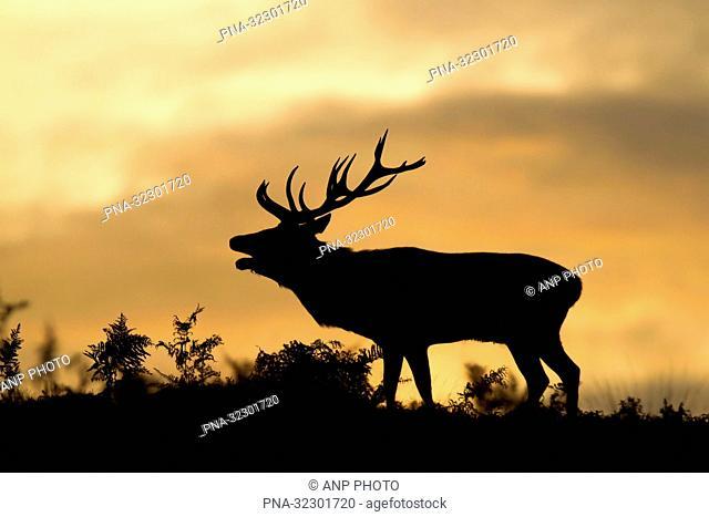 Red Deer (Cervus elaphus) - Bradgate park, Newtown Linford, Leicestershire, England, Great Britain, Europe