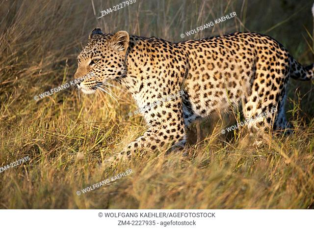 A leopard (Panthera pardus) is walking through grassland looking to hunt near the Vumbura Plains in the Okavango Delta in northern part of Botswana