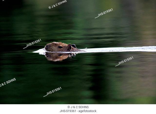 Capybara, (Hydrochoerus hydrochaeris), adult swimming in water, Pantanal, Mato Grosso, Brazil, South America