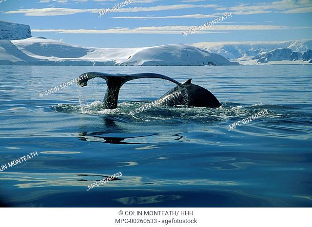 Humpback Whale (Megaptera novaeangliae) in Melchior Island, Antarctica Peninsula, Antarctica