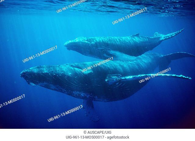Humpback whale female and calf, Hawaii, USA