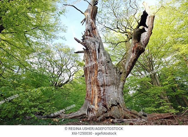 Ancient Oak Tree Quercus robur, Sababurg forest reservation, Hessen, Germany