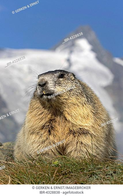 Alpine marmot (Marmota marmota) with Grossglockner, High Tauern National Park, Austria
