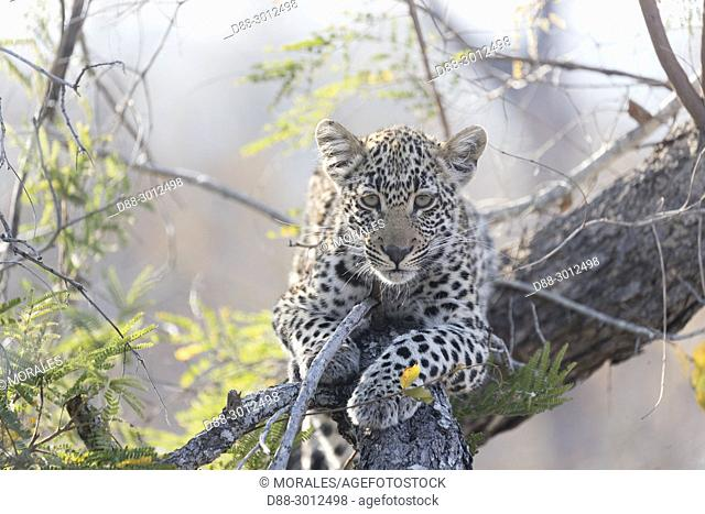 Africa, Southern Africa, South African Republic, Mala Mala game reserve, savannah, African Leopard (Panthera pardus pardus), young in a bush