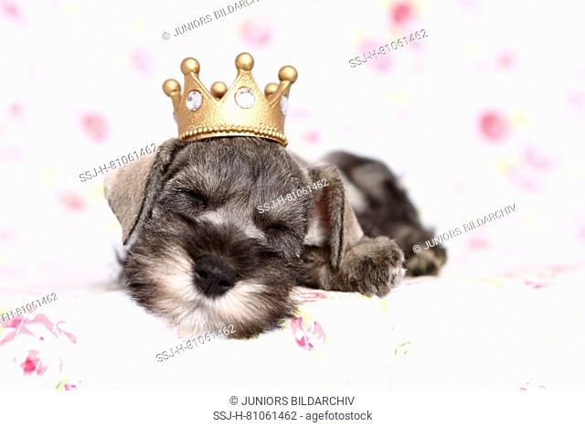 Miniature Schnauzer. Puppy sleeping with a crown on its head, on a blanket with flower print. Germany
