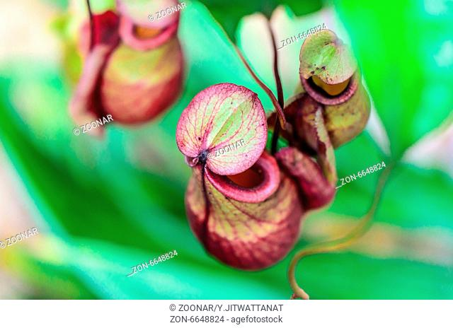 Nepenthes, Monkey Cup or Tropical Pitcher plant