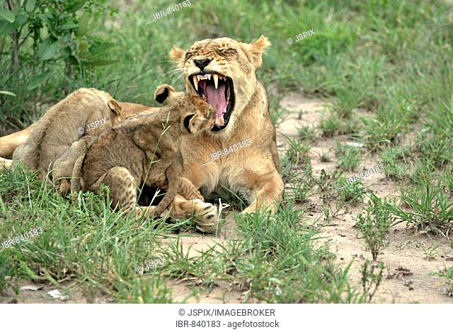Lion (Panther leo), yawning lioness with cubs, Sabi Sand Game Reserve, South Africa