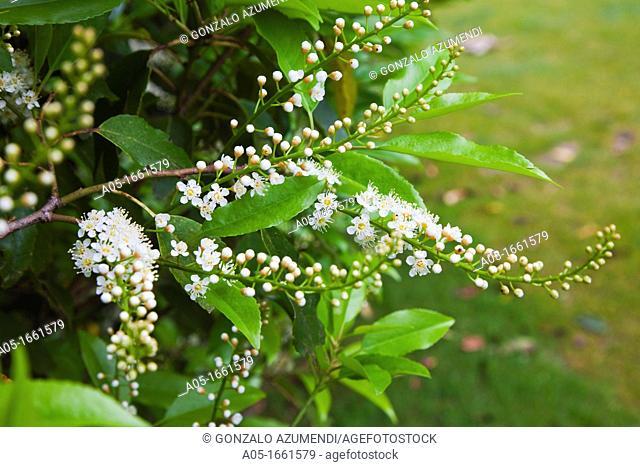 Portugal laurel inflorescences or parrot Prunus lusitanica, Royal Golf Club of San Sebastian, Hondarribia, Guipuzcoa, Basque Country, Spain