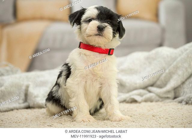 Tibetan Terrier Dog, puppy