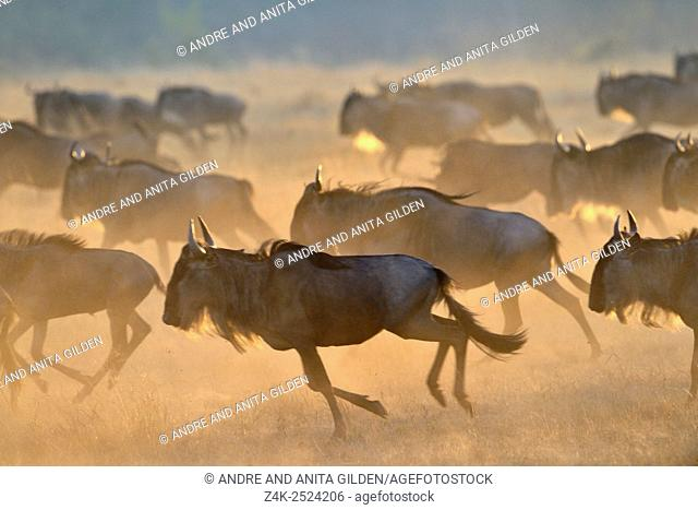 Wildebeest (Connochaetus taurinus), gnu, running at sunrise during the great migration, Serengeti national park, Tanzania
