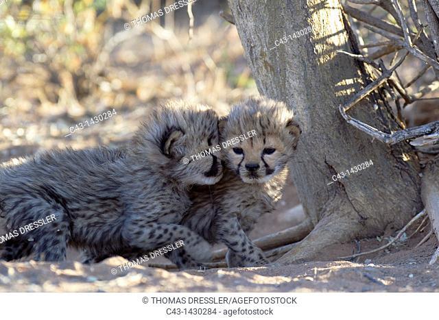 Cheetah Acinonyx jubatus - Playful 19 days old male cubs  Photographed in captivity on a farm  Namibia