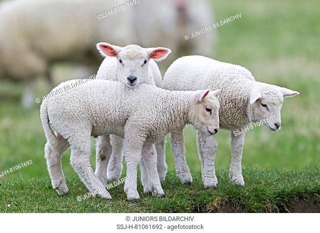 Domestic sheep, three Lambs standing on a pasture