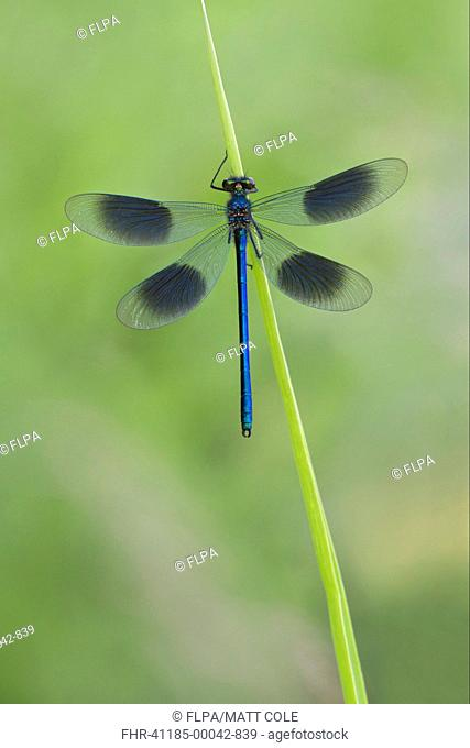 Banded Demoiselle Calopteryx splendens adult male, resting on leaf, Leicestershire, England, june