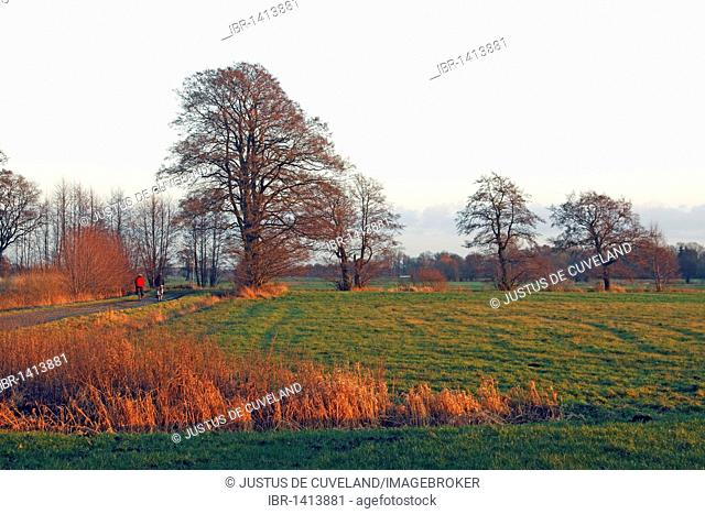Landscape with common alder trees (Alnus glutinosa) in evening light, Naturschutzgebiet Oberalsterniederung nature reserve, Schleswig-Holstein, Germany, Europe