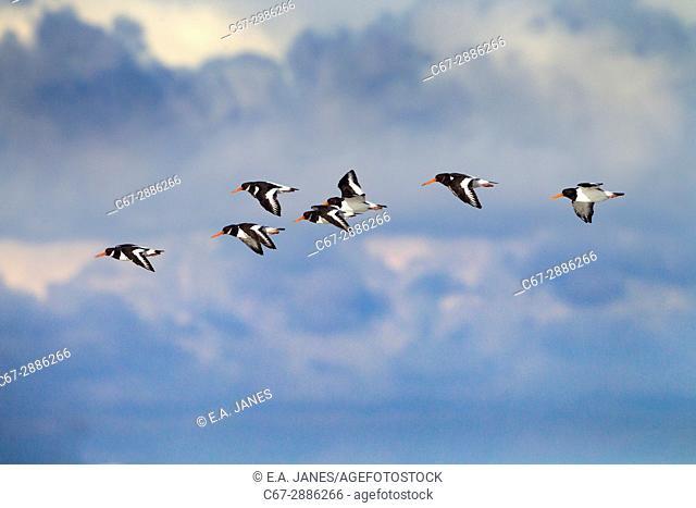 Oyster Catchers Haematopus ostralegus flying Norfolk