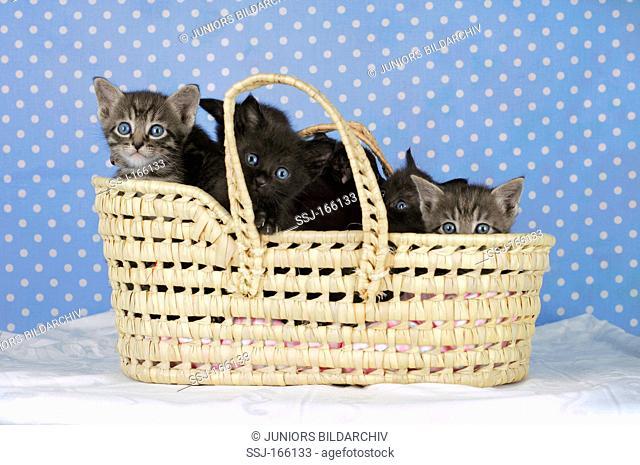 domestic cat - kittens in basket