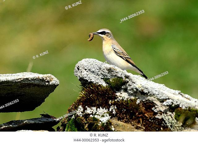 Northern Wheatear, Oenanthe oenanthe, Turdidae, Wheatear, male, with caterpillar, bird, animal, Libi, Mathon, Alps, Canton of Graubünden, Switzerland