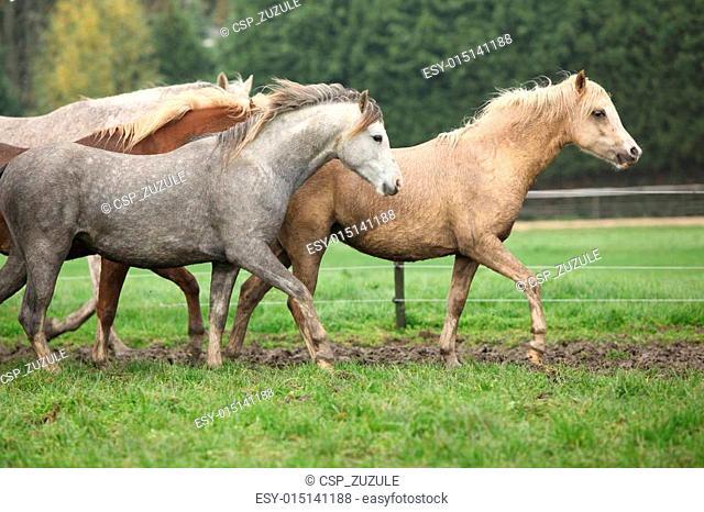 Welsh ponies running in autumn