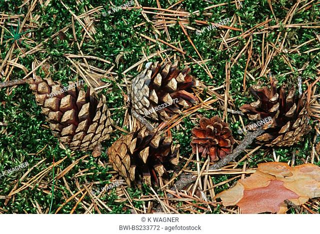 Scotch pine, scots pine Pinus sylvestris, cones lying in moss, Germany