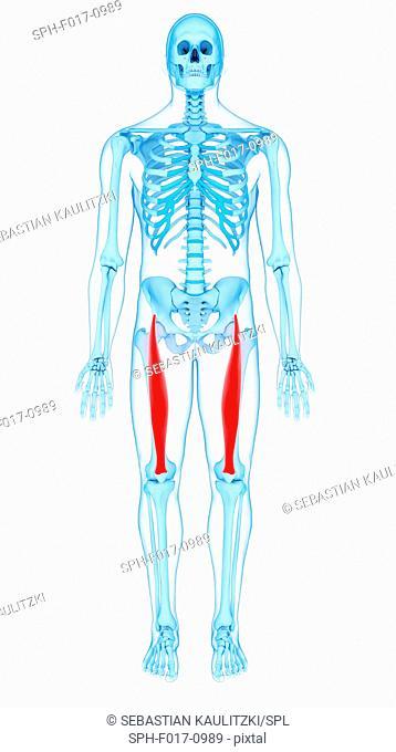 Illustration of the rectus femoris muscles
