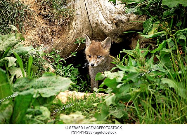 RED FOX vulpes vulpes, PUP EMERGING FROM DEN, NORMANDY IN FRANCE