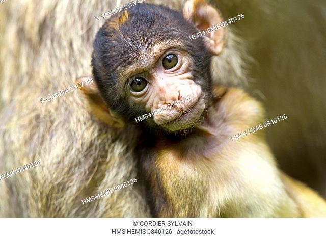 France, Bas Rhin, Kintzheim, Monkeys mountain, Barbary macaque (Macaca sylvanus), baby