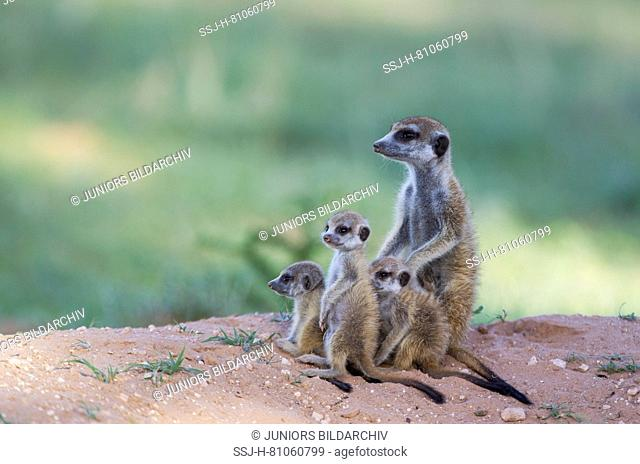 Suricate (Suricata suricatta). Female with three playful youngs at their burrow. During the rainy season in green surroundings
