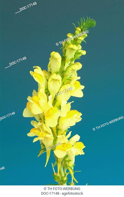 Yellow toadflax - medicinal plant - herb - Linaria vulgaris - Linagola comune