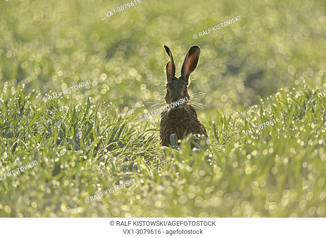 Brown Hare / European Hare ( Lepus europaeus ) sitting in a dew wet field of winter wheat, in first sunlight, backlight, funny, wildlife, Europe.