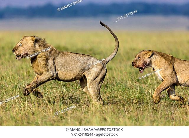 Male lion running to attack another pride's encroacment into his territory, with a lioness joining him. Masai Mara National Reserve, Kenya