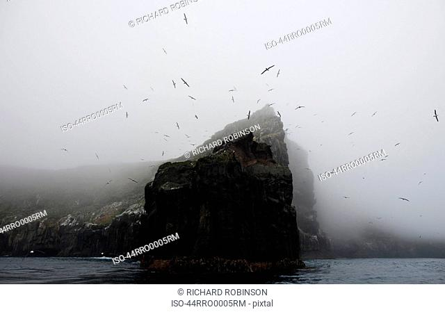 Rookery of albatross nesting on cliff